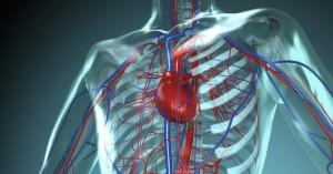 Herz-Kreislauf System des Menschen
