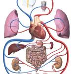Schema des Blutkreislaufs